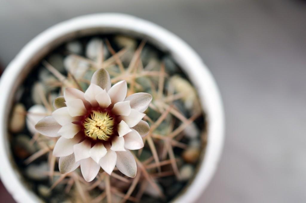 flowering-cactus-plant